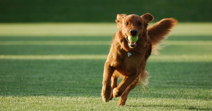 running-dog-ball
