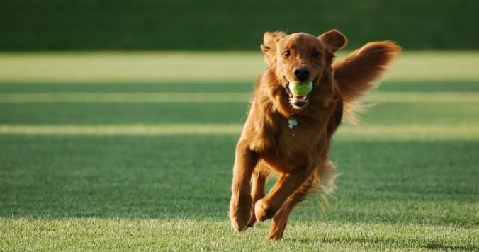 running-dog-ball